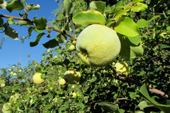 Green apple quince fruits on the tree Stock Photo