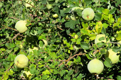 Green apple quince fruits on the tree Royalty Free Stock Photos