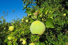 Green apple quince fruits on the tree Royalty Free Stock Image