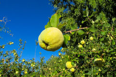 Green apple quince fruits on the tree Stock Image