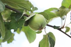 The green apple is ripening on the branch of the apple tree stock photos