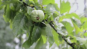 Green apple ripening. Branch of apple tree with ripening fruits under summer rain stock footage