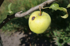 Green apple 'Semerenko' with a brown spot wormhole on a tree bra Stock Photos