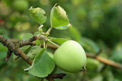 Green apple in summer Royalty Free Stock Photo