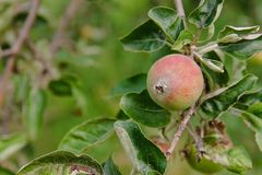 Apple in summer in a tree. Green apple in summer in a tree Stock Images