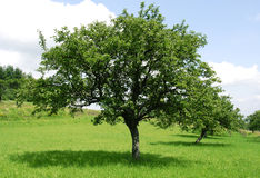 Green apple tree. Rural landscape with apple tree Royalty Free Stock Photography