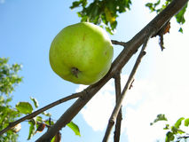 Green apple on a tree Stock Photos