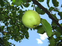 Green apple on a tree Royalty Free Stock Image