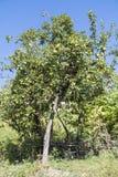 Green apple tree Royalty Free Stock Photo
