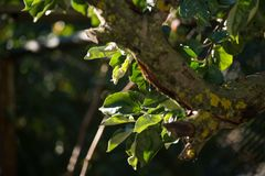 Green apple tree branch in garden, spring sun over translucent leaves. selective focus macro shot with shallow DOF Stock Images