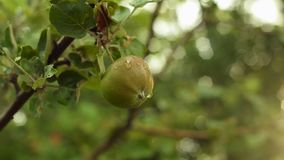 Green apple on a tree branch with leaves. Apple tree garden in the evening. Green apples on a tree branch with leaves. Apple tree garden in the evening stock video