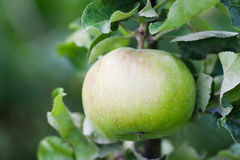 Green apple tree branch in an orchard. Organic fruits concept. soft focus. shallow depth of field Royalty Free Stock Photography