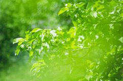 Green apple tree branch on a summer natural background. Soft focus stock photos