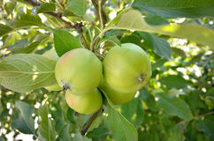 Green apple tree fruits Stock Photo
