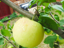 Green apple on the tree. In the garden and green leaves stock photos