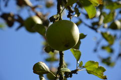 Green apple on a tree. A green apple hanging on a branch of a tree Royalty Free Stock Photos