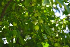 Green apple tree with lots of apples growing. Full frame view of green apple tree with lots of apples growing stock photos