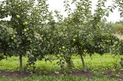 Green apple tree Stock Photo