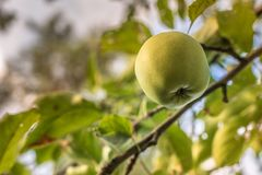 Green apple on a tree during summer.  royalty free stock photos