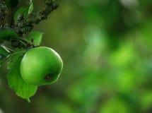 Green Apple Tree Stock Photography
