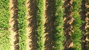 Green Apple Trees Growing  In Rows In The Garden stock video footage