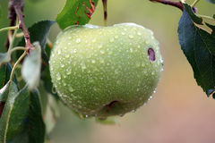 Green Apple with Water Drops. Stock Image