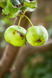Green apple with worm hole. Hanging from tree. Copy space Royalty Free Stock Photography