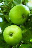 Green apples. Two green, organic apples on the tree Royalty Free Stock Photo