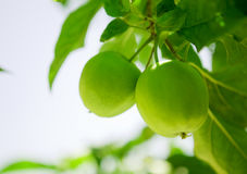 Green apples. In a tree stock image
