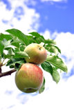 Green apples. On the branch with the sky background Stock Photos