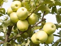 Green apples. Stock Photos
