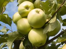 Green apples. Royalty Free Stock Photos