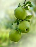 Green apples. Three green apples on a branch Stock Photo