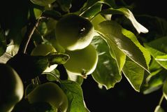 Green apples. Picture of a green apples Stock Photography