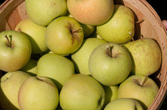Green Apples. Bushel basket filled with freshly hand picked organic green apples at a local farm royalty free stock photo