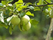 Green apples. On branch of tree Stock Images