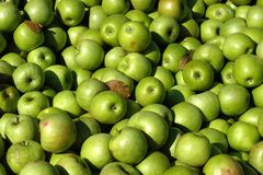 Green Apples. Apple harvest, photographed at a northern Virginia orchard royalty free stock photo