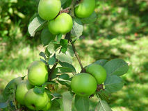 Green apples. A pyramid of green apples on a appletree. Beautiful bright green colour effect royalty free stock image