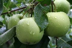 Green apples. Apples in the rain Stock Photo