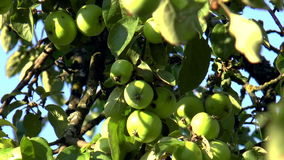 Green apples stock video