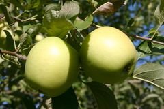 Green Apples. Hanging from an apple tree Royalty Free Stock Photo
