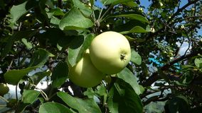 Green apples against a blurred background leaves. Natural organic food on the tree. Sunny summer day. Foliage moves on the wind stock video footage