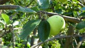 Green apples against a blurred background leaves. Natural organic food on the tree. Sunny summer day. Foliage moves on the wind stock footage