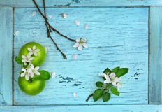 Green apples and apple flowers Royalty Free Stock Images