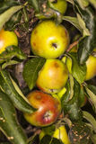 Green apples on the apple tree Stock Photography
