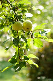 Green apples on an apple-tree branch Stock Image