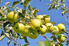 Green apples on apple tree Royalty Free Stock Image