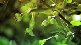 Green apples on apple tree branch stock footage