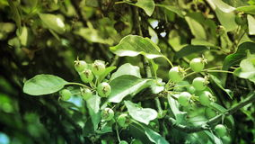 Green apples on apple tree branch. Close up-Green apples on apple tree branch stock footage