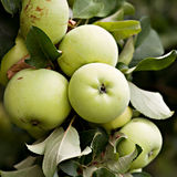 Green apples on apple-tree branch. Daylight Royalty Free Stock Photography